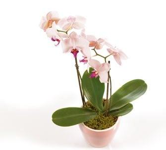 pinke Orchidee versenden