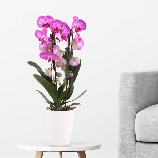 Gemusterte Orchidee mit Übertopf