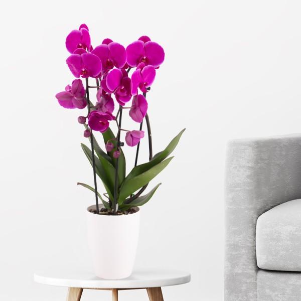 Lila Orchidee im Bogen