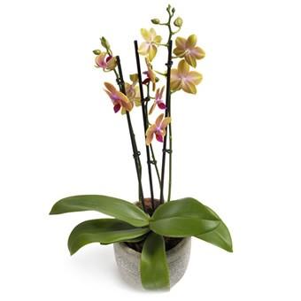 Orchidee Fantastik im Übertopf