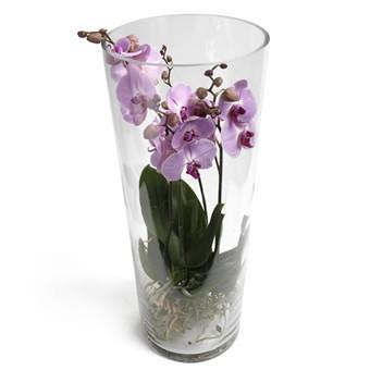 Lila Phalaenopsis Orchideen