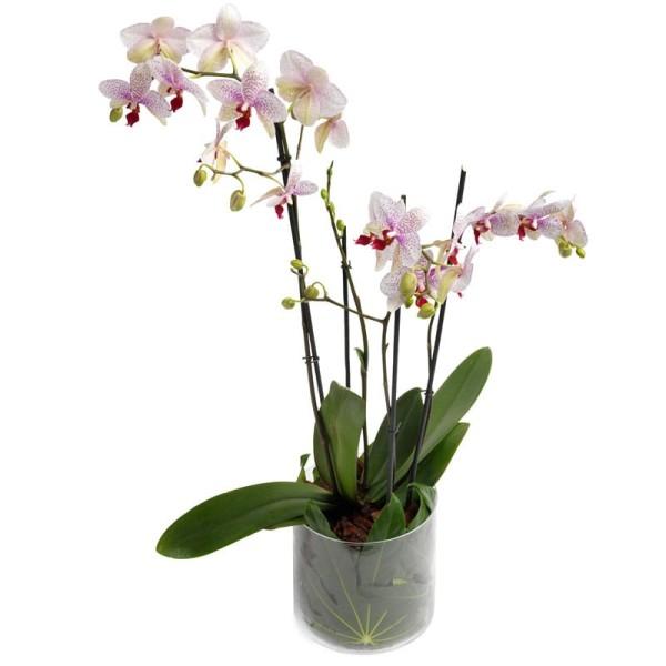 Orchidee in violett verschicken