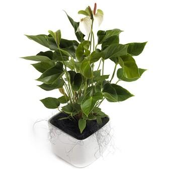 Topfpflanze Weiße Anthurie