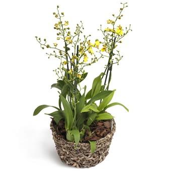 Oncidium Orchidee in gelb