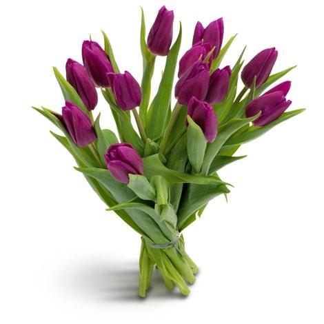 Tulpentraum lila