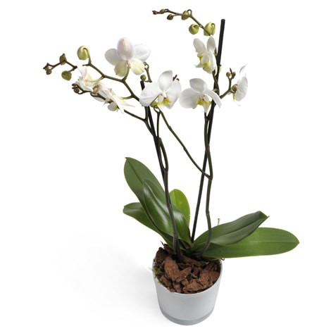 Orchidee Reinheit